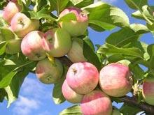 Бобовые и яблоки позволят сократить опасные жировые отложения