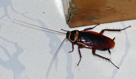 В Неаполе тараканы распространяют опасные инфекции