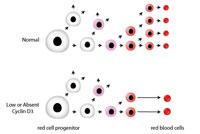 Обнаружен белок, регулирующий размер и количество эритроцитов в крови