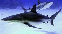 Рак будут лечить кровью акул