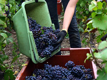 Соединение из винограда облегчает лечение рака