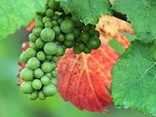 Синтетический аналог соединения из виноградных косточек избавляет от рака