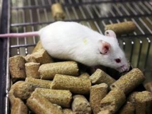 Безглютеновая диета спасла мышей от сахарного диабета