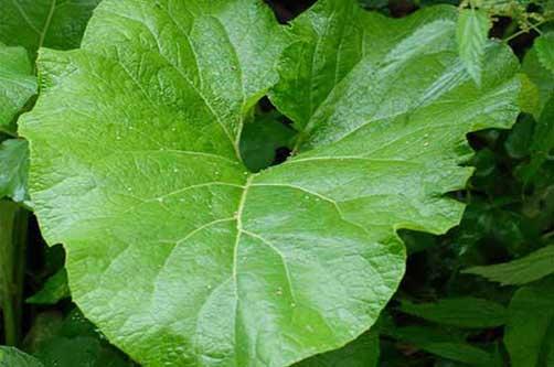 Целебный эликсир из сорняка