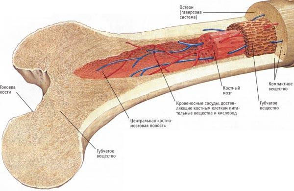 Как устроена костная система?
