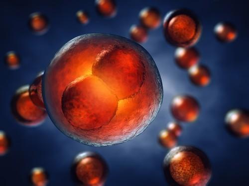 Расшифрованы все гены, активизирующиеся после оплодотворения яйцеклетки