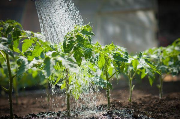 Как поливают томаты?